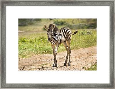 Baby Series Zebra Framed Print