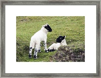 Baby Sheep Framed Print by Juli Scalzi