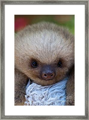 Baby Sloth Framed Print by Heiko Koehrer-Wagner