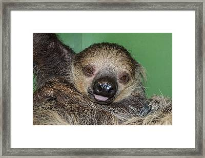 Baby Sloth Framed Print by Robin Williams