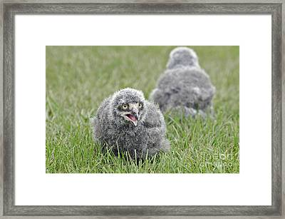 Baby Snowy Owls Framed Print by JT Lewis