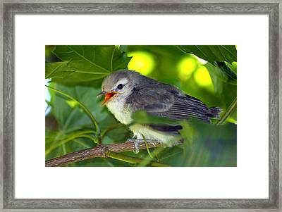 Baby Sparrow In The Maple Tree Framed Print by Karon Melillo DeVega