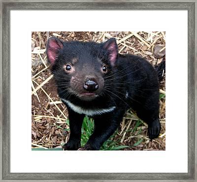 Baby Tasmanian Devil Framed Print by Alexey Dubrovin