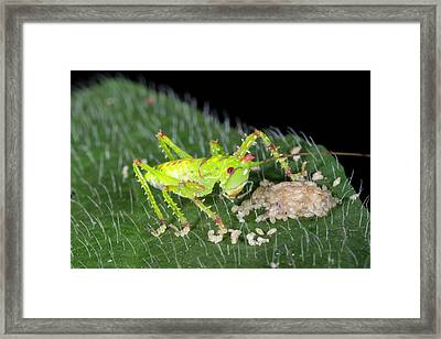 Baby Thorny Devil Katydid Framed Print by Dr Morley Read