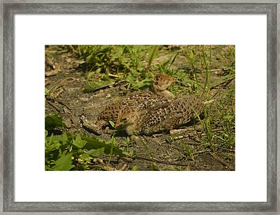 Baby Turkeys Framed Print