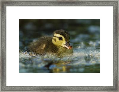 Baby Wood Duck Framed Print