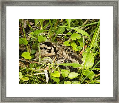 Baby Woodcock Framed Print by Thomas Pettengill