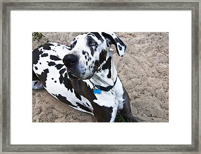 Bacchus The Great Dane Framed Print by Sharon Cummings