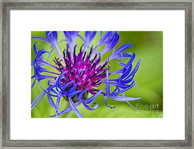 Bachelor Button Macro Framed Print by Sharon Talson