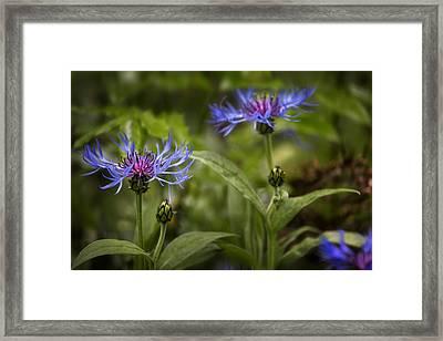 Bachelor Buttons - Flowers Framed Print by Belinda Greb