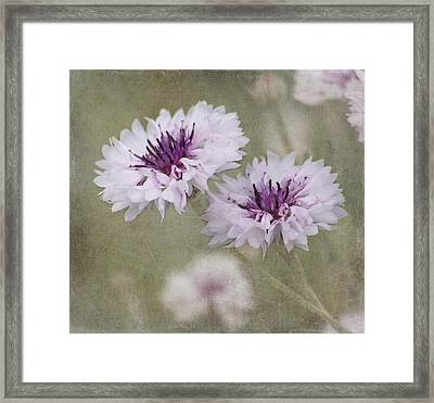 Bachelor Buttons - Flowers Framed Print by Kim Hojnacki