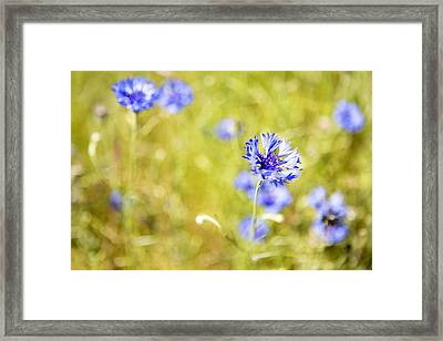 Bachelor Buttons Glowing Framed Print by Belinda Greb