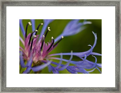 Bachelor's Button Framed Print