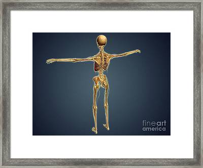 Back View Of Human Skeleton Framed Print by Stocktrek Images