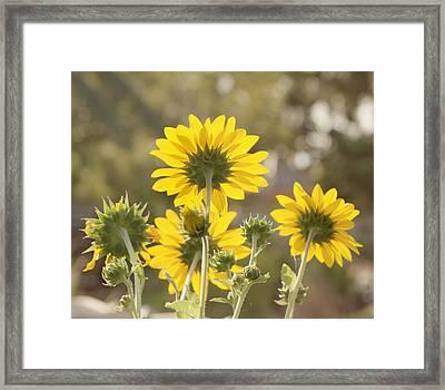 Backlight - Sunflowers Framed Print by Kim Hojnacki