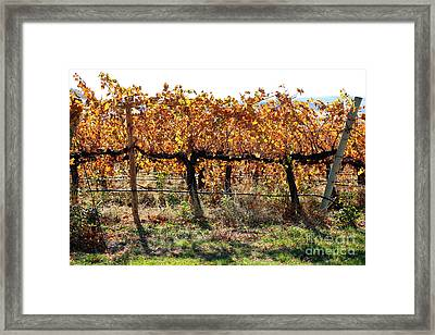Backlit Autumn Vineyard Framed Print by Carol Groenen