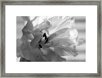 Backlit Black And White Tulip Framed Print