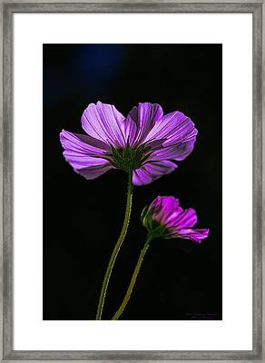 Backlit Blossoms Framed Print by Marty Saccone