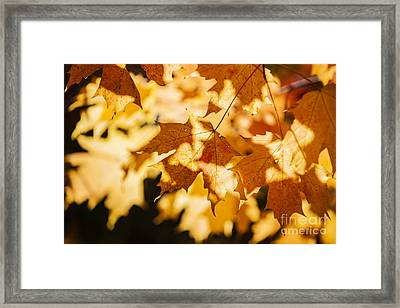 Backlit Fall Maple Leaves Framed Print