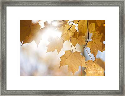 Backlit Fall Maple Leaves In Sunshine Framed Print