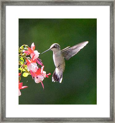 Backlit Fuchsia And Hummer Framed Print by Amy Porter