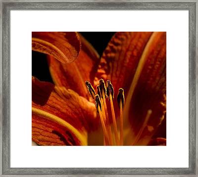 Backlit Lily Framed Print by Jean Noren