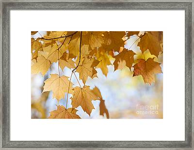 Backlit Maple Leaves In Fall Framed Print