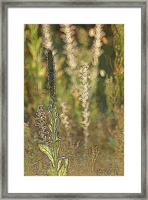 Backlit Mullein In A Meadow Framed Print