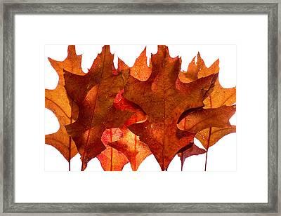 Backlit Oak Leaves Framed Print
