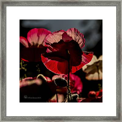 Backlit Poppy #2 Framed Print