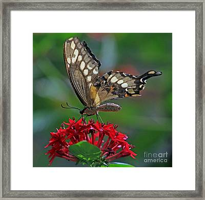 Framed Print featuring the photograph Backlit Swallowtail by Larry Nieland