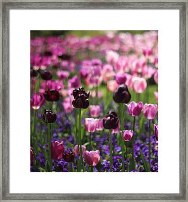 Backlit Tulips Framed Print by Jessica Jenney