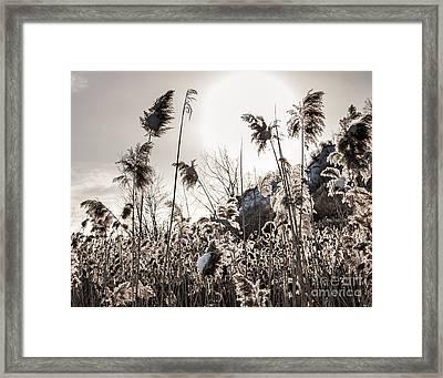 Backlit Winter Reeds Framed Print by Elena Elisseeva