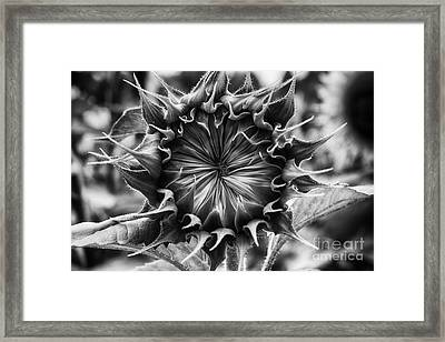 Backside Of Sunflower Framed Print
