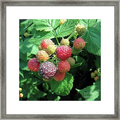 Fruit- Black Raspberries - Luther Fine Art Framed Print