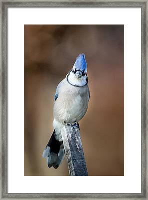 Backyard Birds Blue Jay Framed Print by Bill Wakeley