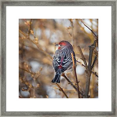 Backyard Birds House Finch Square Framed Print
