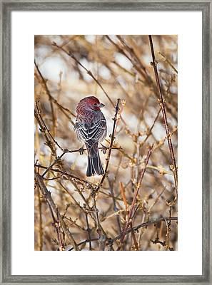 Backyard Birds Male House Finch Framed Print by Bill Wakeley