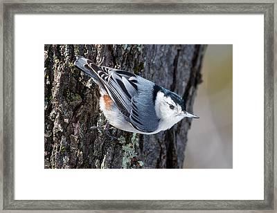 Backyard Birds Nuthatch Framed Print