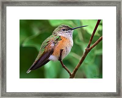 Backyard Broad Tailed Hummingbird Framed Print by Stephen  Johnson