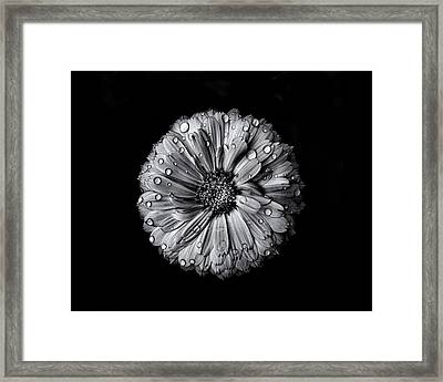 Backyard Flowers In Black And White 10 After The Storm Framed Print by Brian Carson