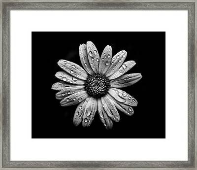 Backyard Flowers In Black And White 16 After The Storm Framed Print by Brian Carson