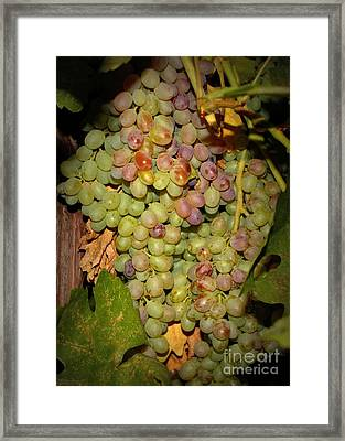 Backyard Garden Series -hidden Grape Cluster Framed Print by Carol Groenen