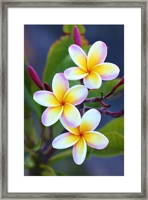 Backyard Plumeria Framed Print