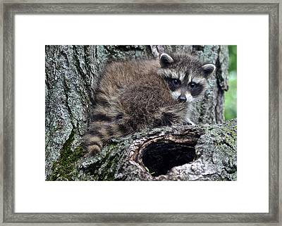 Backyard Raccoon Framed Print by Frozen in Time Fine Art Photography