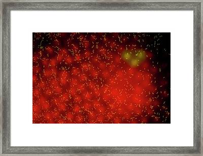 Bacteria On Volvox Colony Framed Print by Gerd Guenther