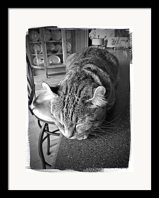 A Gray Tabby Highlander Lynx Cat Asleep On The Kitchen Counter Framed Prints