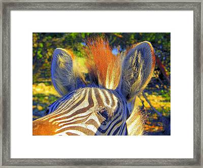 Bad Fur Day Framed Print by Antonia Citrino