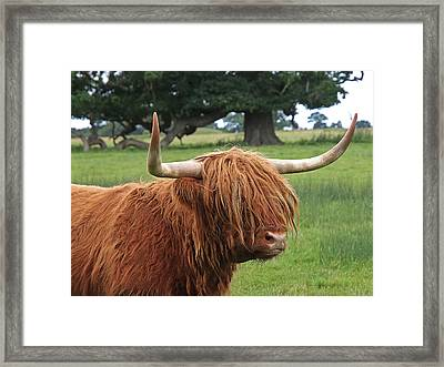 Bad Hair Day - Highland Cow Framed Print by Gill Billington