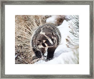 Badger In The Snow Framed Print